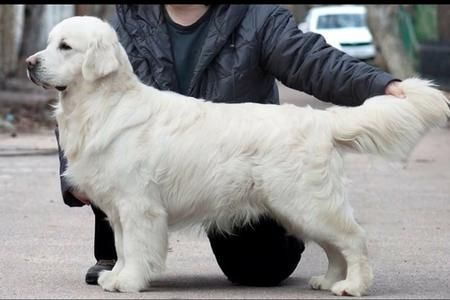 Champion English Cream Golden Retriever dog breeder located in Greer, SC. Top blood line pedigree white golden retriever puppies for sale.