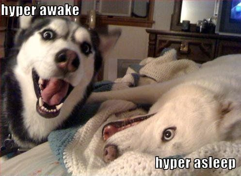 Hyper Huskies! Oh  I know this look all too well..I get it every day from my husky! At this very moment in fact..