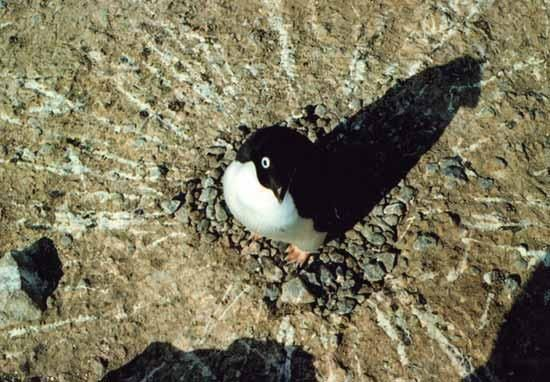 Penguins' pooping power scoops Ig Nobel prize - NEWS ITEM. An Ig Nobel for fluid dynamics was awarded for a theoretical analysis of penguin poop propulsion, conducted by Benno Meyer-Rochow of the International University of Bremen in Germany and Oulu University in Finland, and Jozsef Gal of Lorand Eötvös University in Hungary.