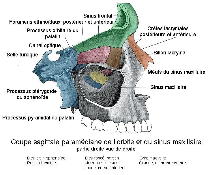 Orbite et Sinus maxillaire.png