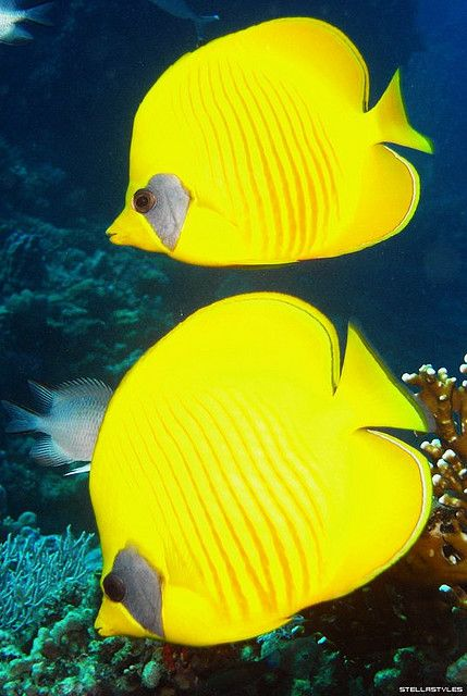Blue-Cheek Butterflyfish | Flickr - Photo Sharing!