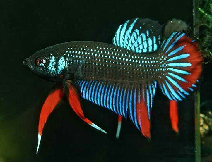 405 best wild bettas images on pinterest for 405 tropical fish