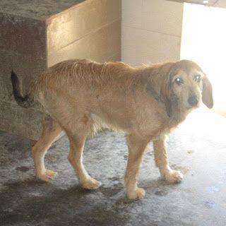 PIPPO, un timido segugio anziano CHE ASPETTA DA ANNI UNA FAMIGLIA http://www.adottauncaneanziano.blogspot.it/2012/11/pippo-un-timido-segugio-anziano.html