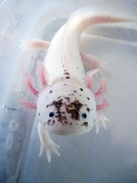 I want an axolotl tank for my dream house. This guy is too cute, and maybe a black one. It'll be like owning a little real life mudkip