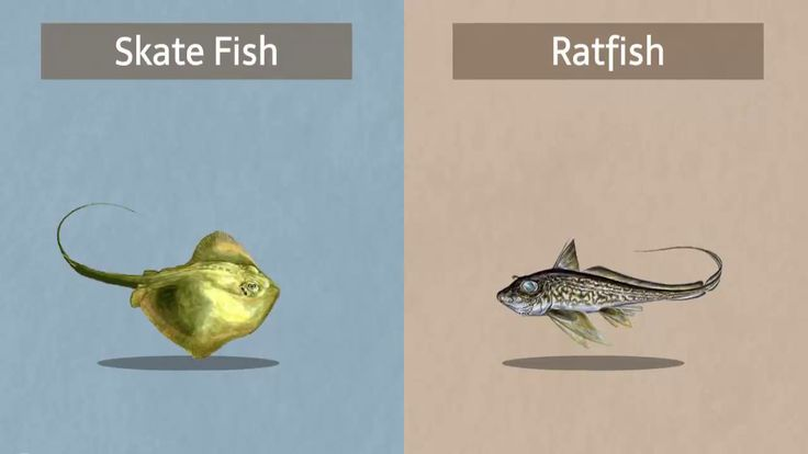 There has been some confusion about whether or not the Ratfish and Skate fish are related. The simple answer is that they are not and they are nothing alike. We hope this video sheds some light on the confusion that has revolved around this subject. Our Extra Virgin Ratfish Liver Oil is extremely unique and unlike anything else on the planet. Many studies are being done around the world on the positive health effects that come from taking the oil.