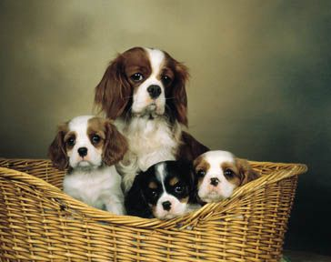 This is the King Charles Cavalier Spaniel. I would love to have one of these some day.