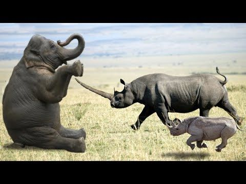 Elephant vs Rhino Real Fight - Ephant Shows Who's Boss and