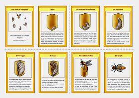 krabbelwiese: Lebenszyklus (Honig-)Biene