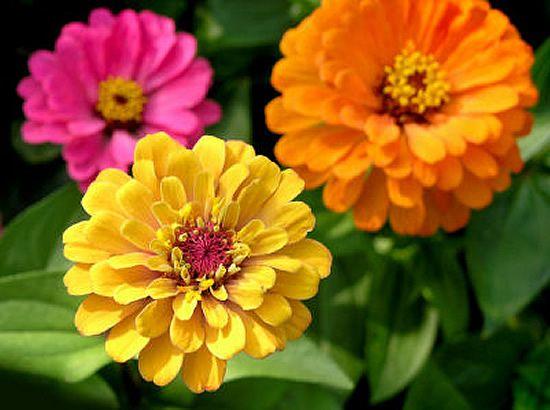 Zínia, uma flor com elegância. A zínia é uma planta de tamanho pequeno e grande beleza, nativa da América.Tem uma ampla gama de cores: roxo, vermelho, creme, amarelo,  É ideal para acompanhar outras grandes plantas no jardim. Ela traz em sua simbologia pensamentos em amigos ausentes. - Zinnia - Inconstance - Jaune pourpre - Vous ne m'aimez plus