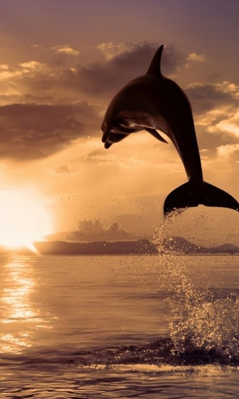 ♀ Animal kingdom animal photography dolphin at sunset