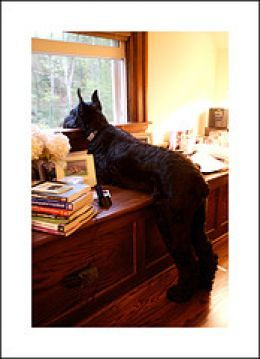 I will own a giant schnauzer one day! Like my baby, only on steroids...