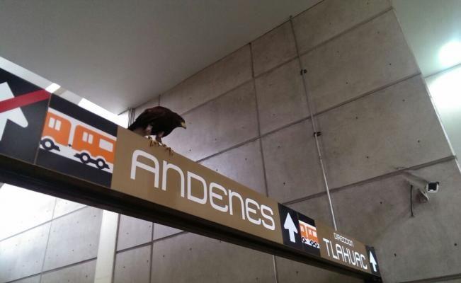 Águila se posa en letrero de Metro Nopalera
