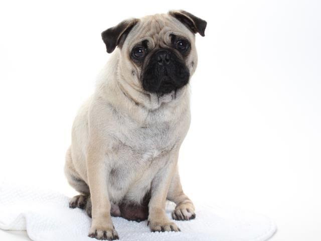 Pug dog for Adoption in Burbank, CA. ADN-481725 on PuppyFinder.com Gender: Female. Age: Adult
