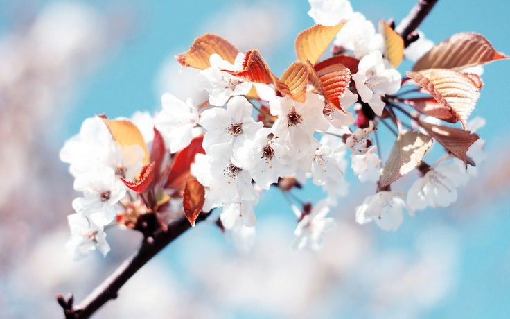 Flowers, tree branch, cherry blossom, blossom, spring wallpaper