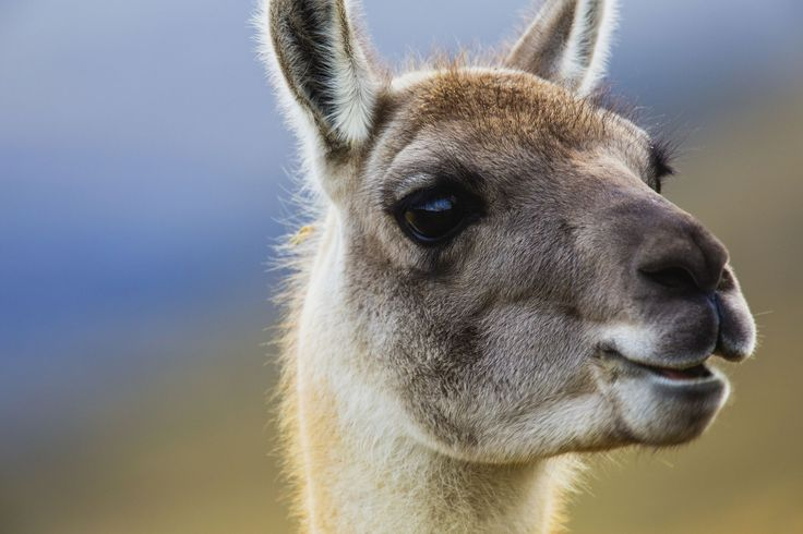 Llama facts featuring fun, interesting and a few weird things to know. Learn more about llamas, pack animals that make perfect hiking companions.