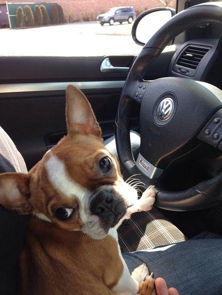 Xavier Brown Boston Terrier: drive?