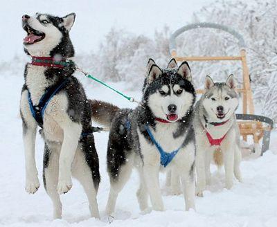 Siberian Husky dog breeds,  Very cool dogs..love mine.
