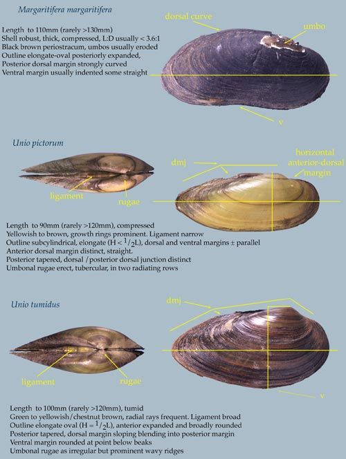 Freshwater Mussels 2 of 2