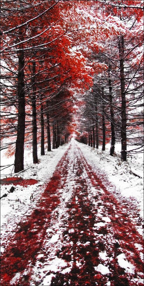Early Snow, Blend of red colour of leaves and white colour of snow creating an epic picture.