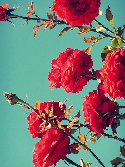 Dont love roses that much, but this combination of colours!!!