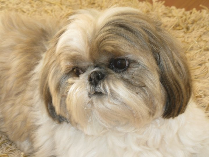 average life of a shih tzu 17 best images about shih tzus on pinterest teddy 4804
