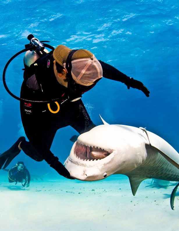 """Hungry: Tiger sharks will eat anything, from boats and tyres to jewellery. He said: """"They are wild so you can never get 100% comfortable.    """"But I'm able to get them to roll 180 degrees around my hand."""