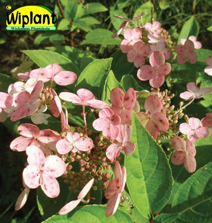 Hydrangea pan. 'Dharuma', syrenhortensia. Nyhet! Vita blommor som snabbt övergår i rosa. Låg. Höjd: 1-1,5 m.