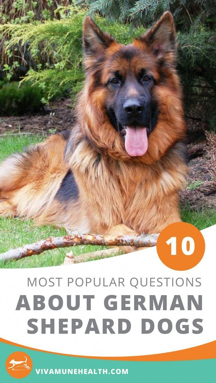 Your 10 Most Popular Questions About German Shepherd Dogs German