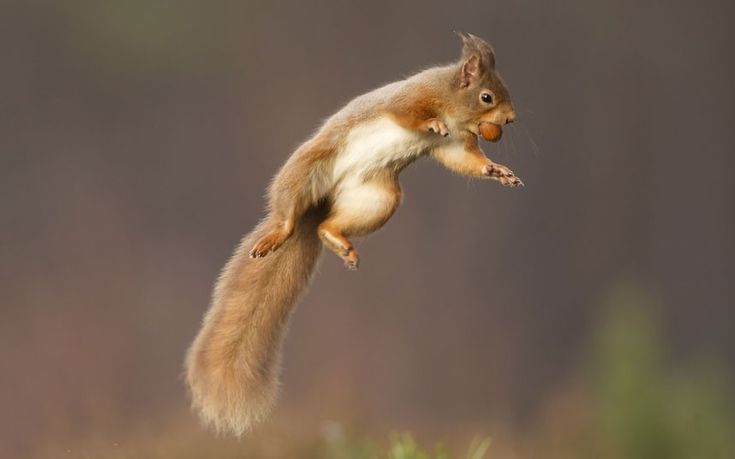 Spring Time A Red Squirrel Jumps While Holding Nut In Cairngorms National Park Scotland