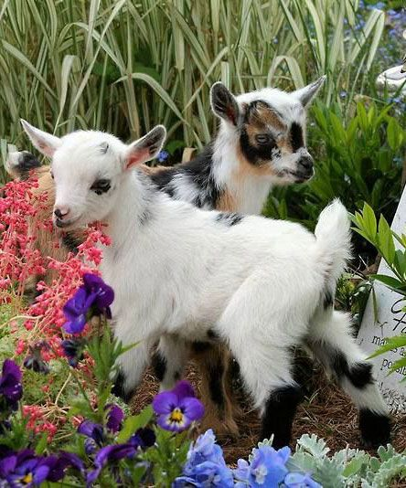 I've been pleading with Bob to let me get two goats....live on 5 acres in Ham Lake so they could roam....guess, I'm an animal hoarder!