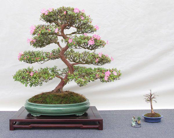 die besten 17 ideen zu bonsai azalea auf pinterest. Black Bedroom Furniture Sets. Home Design Ideas