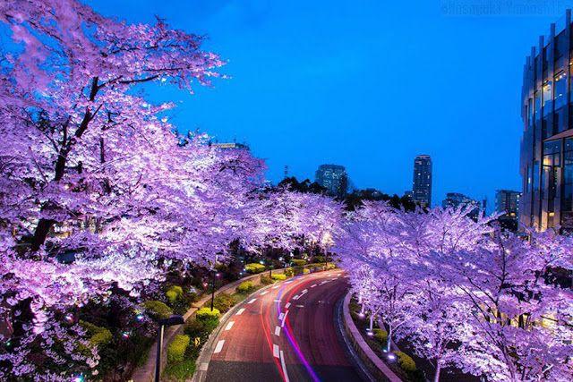 Serba Serbi Photografi 16 Foto Sakura Di Jepang Dari National Geographic Cherry Blossom Japan Japan Photography Japanese Cherry Tree
