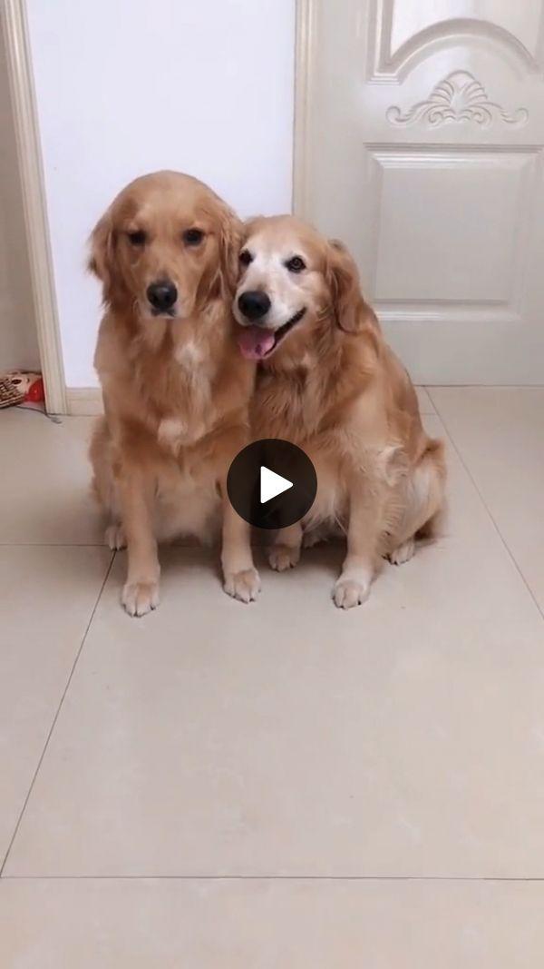 Golden Retriever Dogs Are Very Friendly Dogs Golden Retriever