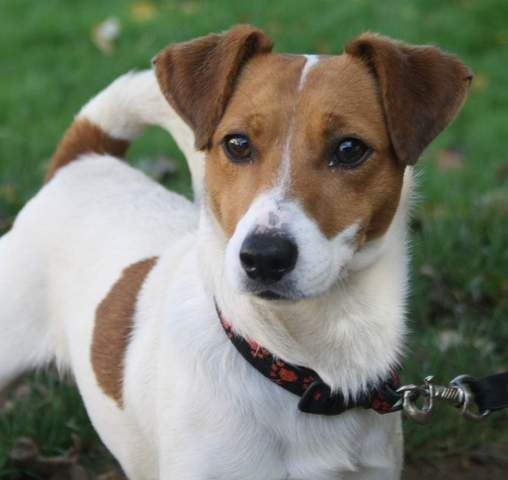 Oups, chien Jack Russell Terrier