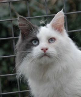 Maine Coon Blue Eyed Siduroy Dance With The Devil P Blue - Blue Harlequin Polydactyl Blue Eyed (fotograaf Miriam Muller)