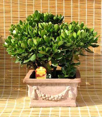 Planta suculenta Árbol de Jade, Crassula Portulacea