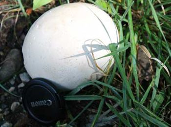 How to Eat the Giant Puffball.. Its that season here. Go Look..