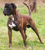 Boxers von Bachbett Working German Boxer Stud Dogs, Arames, Irco, Cliff, Grobi…