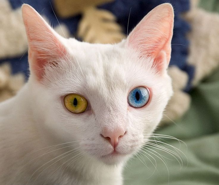 Odd-eyed coloring is caused when either the epistatic (dominant) white gene or the white spotting gene prevents melanin (pigment) granules from reaching one eye during development resulting in a cat with one blue eye and one green yellow or brown eye.
