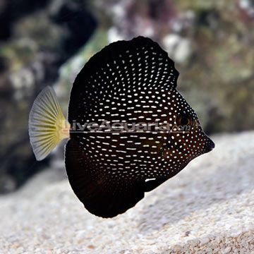 Mauritius Gem Tang (Zebrasoma gemmatum) i love salt water tanks my ex and i had one he kept it and he let the fish die and now it sits in his garage such a waste