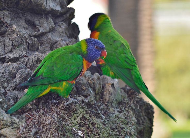 888 Pictures: Rainbow  Lorikeets  #parrots #australian #bright #intelligent #birds #playful #funny #cute #pets #animals
