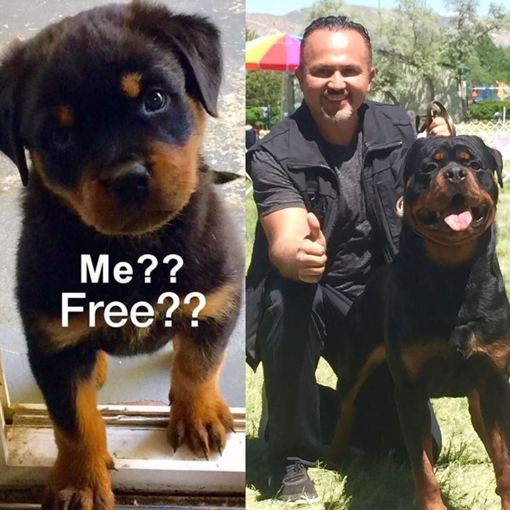 how to train a rottweiler puppy at home