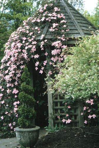 1000 images about clematis and perennials on pinterest. Black Bedroom Furniture Sets. Home Design Ideas