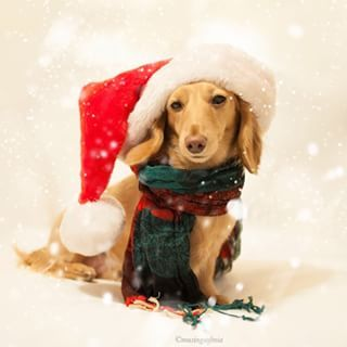 Let it snow! Let it snow! Let it snow! | Community Post: 20 Adorable Dachshunds Who Are Totally Ready For Christmas