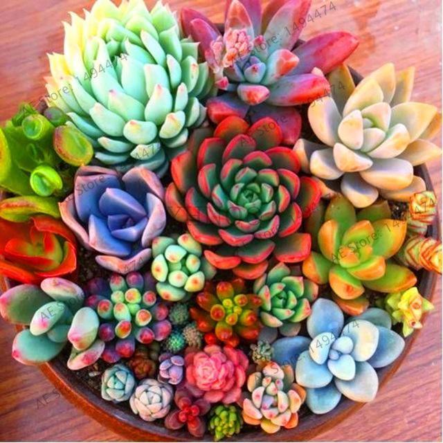 206 Rare Mix Lithops Seeds Living Stones Succulent Cactus Organic Garden Bulk Seed,bonsai seeds for indoor succulent plants.