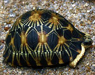 Radiated Tortoise - Madasgacar  Endangered Species