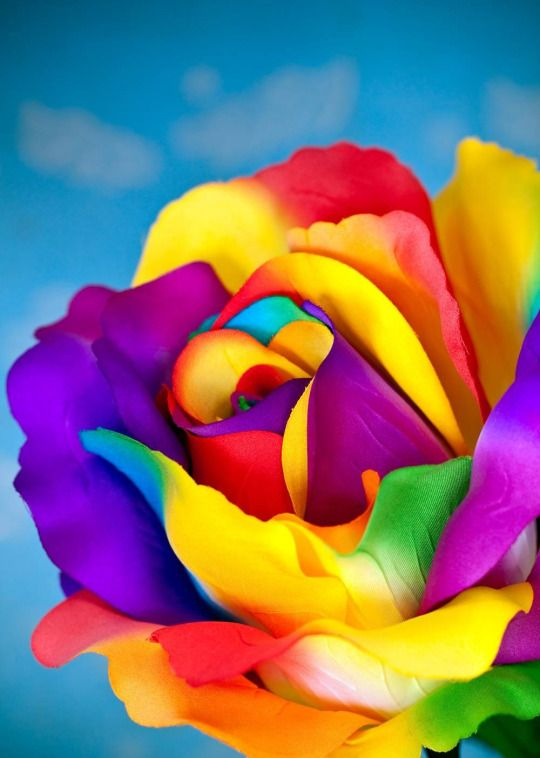 271 best images about couleurs rainbow on pinterest for Rainbow colored rose