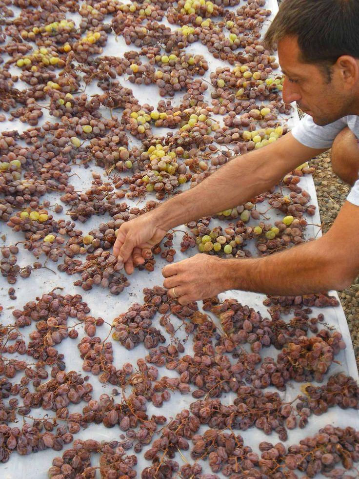 Zibibbo grapes being dried in the sun on the island of Pantelleria for Marco De Bartoli's great passito, Bukkuram