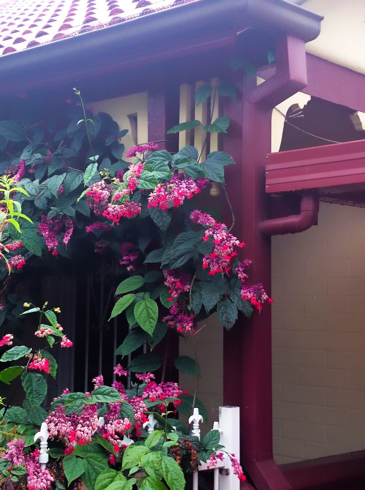 Clerodendron thomsoniae 'Delectum' in Botany, NSW