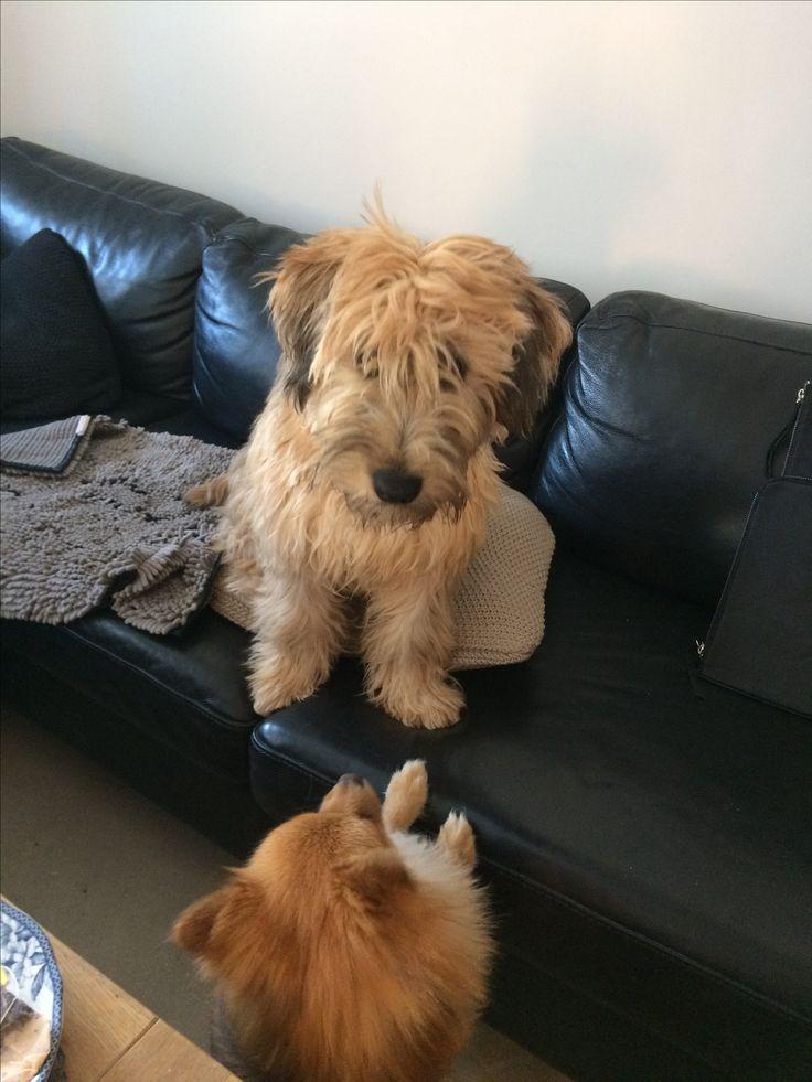 Weathen terrier and Pomchi - Vilja og Theo - Oslo